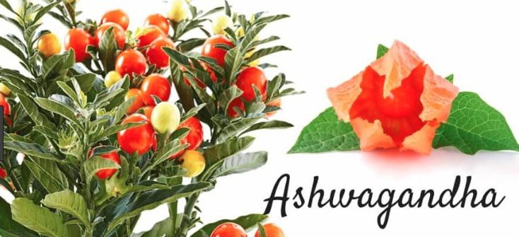 Ashwagandha Uses - Natural Herb Health Care - Chopra Ayurveda Surrey